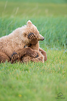 """Coastal Brown Bear (Ursus arctos) cubs tussling in the meadow - a combination of claws, paws and noses.  The female cub (on top, at left) caught the larger male cub laying down in the grass.  She attacked, and forced him to bring all his weaponry (including those huge paws - almost as big as her head! - and long claws) to """"bear"""" in defense.  Hallo Bay, Katmai National Park, Alaska."""