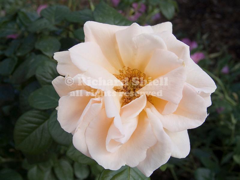 Everest Double Fragrance Rose, floribunda Rosa hybrid