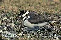 1K04-001z  Killdeer - adult sitting on eggs - Charadrius vociferus