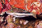 Canthigaster jamestyleri, Goldface toby, Florida Keys