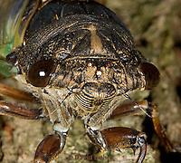 0901-0823  Close-up of Dog-day Cicada, Tibicen spp.  © David Kuhn/Dwight Kuhn Photography.