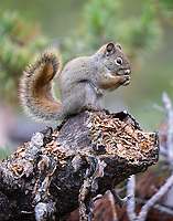 Red squirrels were quite active both in the park and on our property.