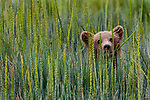 A brown bear cub hides in seaside arrowgrass of Alaska's Lake Clark National Park.