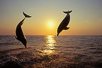 Common Bottlenose Dolphins or Bottle-nosed dolphins (Tursiops truncatus) off the west coast of Hondurus.  Sunset.