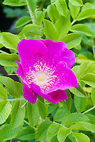 Rosa rugosa, pink species in bloom with foliage