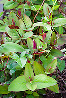 Hypericum inodorum Albury Purple aka Hypericum androsaemum Albury Purple Tutsan in new young growth in early May spring
