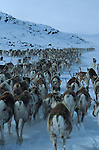 .Reindeer migration from Gallivare to the national parks of  Sarek and Stora Sjôfallet, 200 km west. Lapland, Sapmi, north of Sweden..