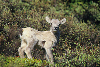 Bighorn sheep lamb (Ovis canadensis).  Northern Rockies.  June.