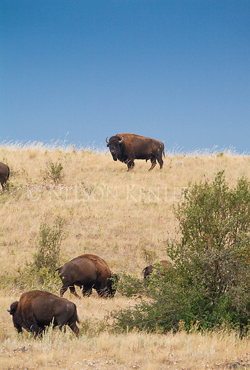 Buffalo grazing in grassland at the National Bison Range in Montana