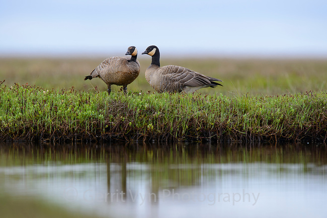 Pair of Cackling Geese (Branta hutchinsii minima). Yukon Delta National Wildlife Refuge, Alaska. June.