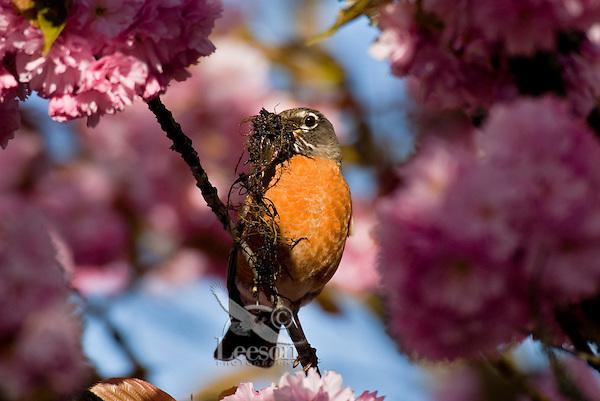American Robin (Turdus migratorius) with nesting material in flowering plum tree.