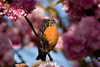 American Robin (Turdus migratorius) with nesting material in flowering plum tree.