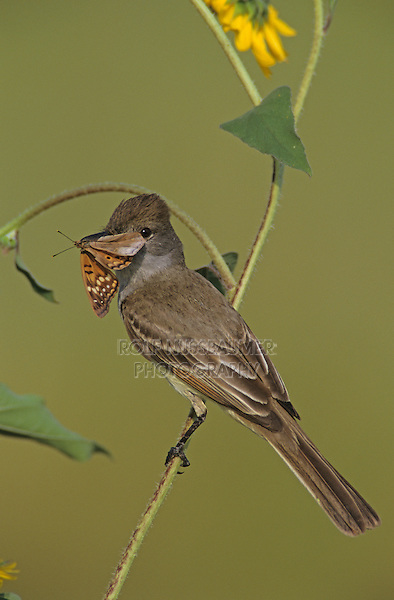 Brown-crested Flycatcher, Myiarchus tyrannulus ,adult with butterfly on Sunflower, The Inn at Chachalaca Bend, Cameron County, Rio Grande Valley, Texas, USA