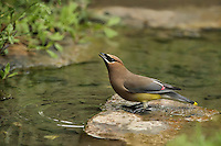 The Cedar Waxwing is one of the few North American birds that specializes in eating fruit. It can survive on fruit alone for several months..