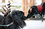 Sam, left, checks out the competition, Gunner, before the Scallywaggers Pirate Pup Parade at the Brewery Arts Center, in Carson City, Nev., on Wednesday, Sept. 18, 2019.<br />Photo by Cathleen Allison/Nevada Momentum