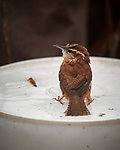 House Wren Image taken with a Nikon D5 camera and 600 mm f/4 VR lens (ISO 360, 600 mm, f/4, 1/1250 sec).