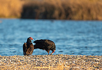 Turkey Vultures, Cathartes aura, at Sacramento National Wildlife Refuge, California