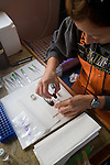 Puget Sound, marine research, Washington State, Shelly Nance disecting Chinook salmon, National Marine Fisheries Service, NMFS, marine, research scientists trawl net to monitor diseases of fish in Puget Sound, Skagit Bay, aboard the research vessel Harold W. Streeter
