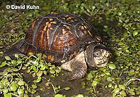 1003-0815  Male Eastern Box Turtle in Water with Watercress - Terrapene carolina © David Kuhn/Dwight Kuhn Photography