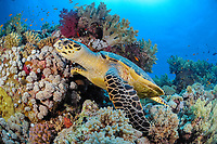 hawksbill sea turtle, Eretmochelys imbricata, reptile, off Hamata coast, Egypt, Red Sea.