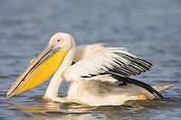 Great White Pelicans in Senegal
