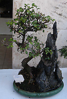 Negozio di bonsai a Roma gestita da una donna cinese..Bonsai shop in Rome managed by a Chinese woman.