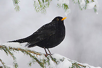 Common Blackbird, Turdus merula, male on sprouse branch with snow, Oberaegeri, Switzerland, Dezember 2005