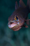 A cardinal fish with eggs brooding in its mouth, Komodo National Park, Indonesia, Pacific Ocean