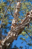 Betula nigra 'Heritage' River Birch tree trunk bark, looking upward to blue sky, branches, peeling bark, leaves