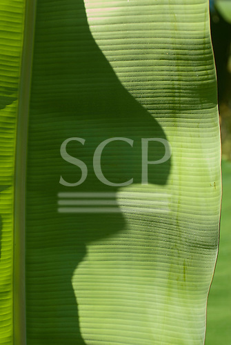 Xingu Indigenous Park, Mato Grosso State, Brazil. Posto Diauarum; shadow on a banana leaf looking like a man's profile.