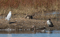Snowy Egret, Egretta thula, Greater White-fronted Geese, Anser albifrons, and Northern Pintail, Anas acuta, at Colusa National Wildlife Refuge, California