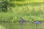 Damon, Texas; a massive, 13-14 foot, adult alligator posturing along the bank of the slough by raising its head and tail, vibrating the water and making loud gutteral sounds