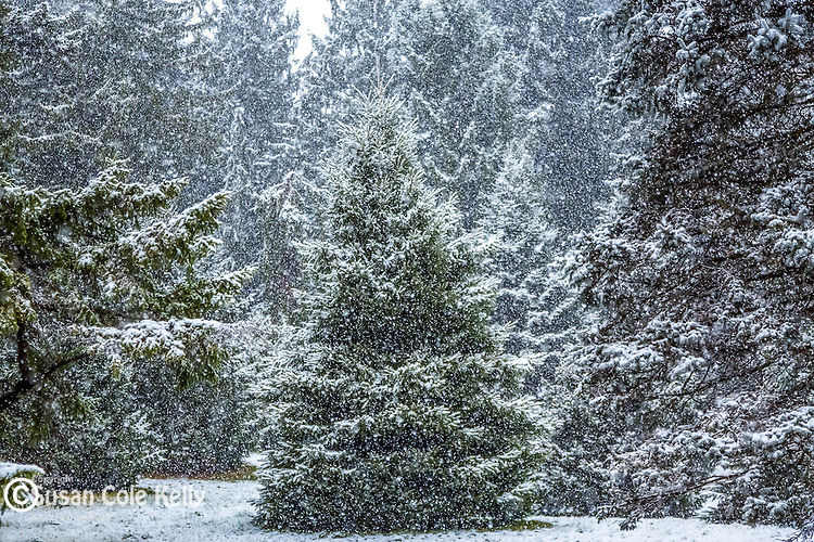 Evergreens in a snowstorm at the Arnold Arboretum in the Jamaica Plain neighborhood, Boston, Massachusetts, USA