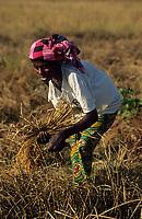 Afrique/Afrique de l'Ouest/Sénégal/Parc National de Basse-Casamance/Mlomp : Récolte du riz [Non destiné à un usage publicitaire - Not intended for an advertising use]