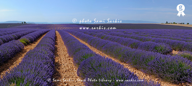 Panoramic view of lavender fields (TRAVEL FRsb10061763dd-001 )