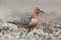 Red Knot (Calidris canutus rogersi) with a leg flag and geo-location device used to track migration. This individual was leg flagged on the wintering grounds in New Zealand. Chukotka, Russia. June.