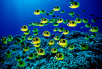 Schooling raccoon butterflyfish   [ Chaetodon lunula ]   Hawaii. fish fishes school group reef hard coral
