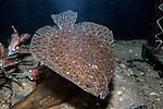 Windowpane Flounder swimming towards camera