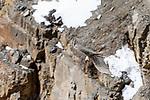Adult lammergeier or bearded vulture (Gypaetus barbatus) in flight. Spiti Valley, Himachal Pradesh, northern India.