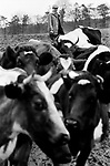 Farmer milking cows by hand using pump. 70s UK Gloucestershire 1970s Britain  Village life 1975 The Cotswolds.  Lower and Upper Slaughter are twin villages on the River Eye and are know as The Slaughters.  1975 <br /> <br /> Mr Kenneth Pugh
