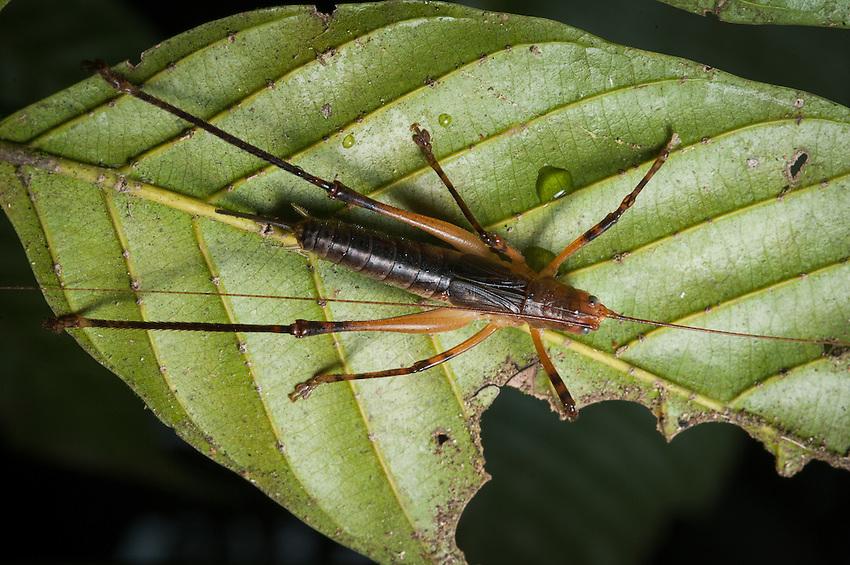 A katydid or tree cricket. Siquirres, Costa Rica.