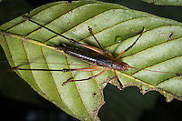 A katydid or tree cricket. Siquirres, Costa Rica.