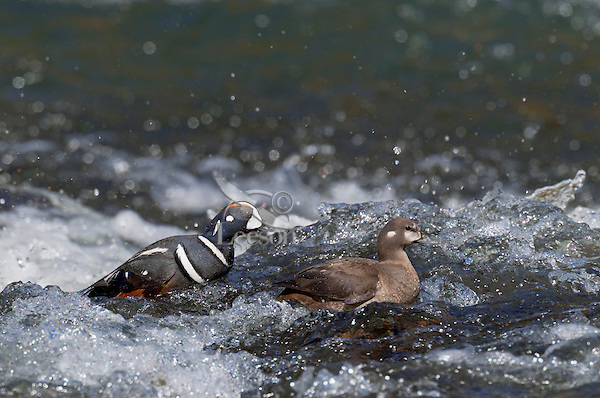 Harlequin Duck pair (Histrionicus histrionicus) on fast flowing mountain stream during spring mating season.  Western U.S.  Spring.