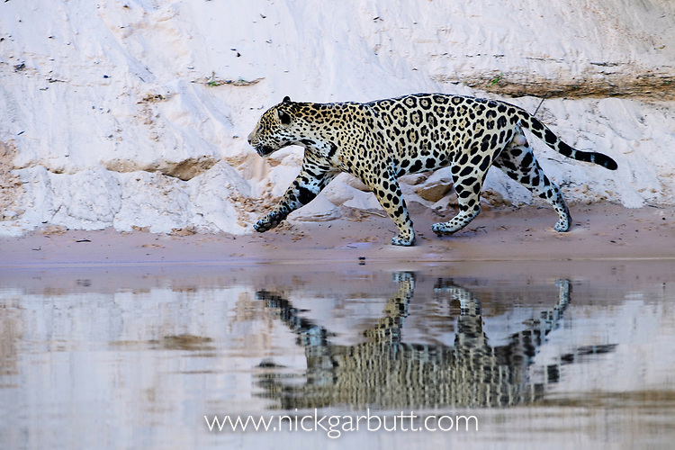 Male jaguar (Panthera onca) running on a sand bank with reflection in the water. Cuiaba River, Northern Pantanal, Mato Grosso, Brazil.