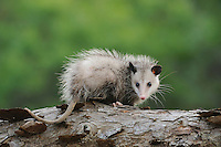 Virginia Opossum (Didelphis virginiana), young on log, Fennessey Ranch, Refugio, Coastal Bend, Texas Coast, USA