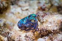 hummingbird bobtail squid, or Berry's bobtail squid, Euprymna berryi, Atauro Island, Timor-Leste, or East Timor, Strait of Wetar, Sawu Sea, Indian Ocean