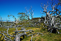 Dead koa devastation due to cattle grazing.