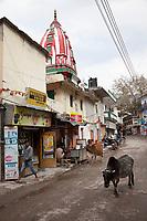 India, Rishikesh.  Street Scene, with Cows.