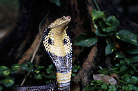 Venomous cobra [Naja naja] is poised to strike. Thailand.