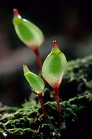 Blattloses Koboldmoos, Pferdehufmoos, Buxbaumia aphylla